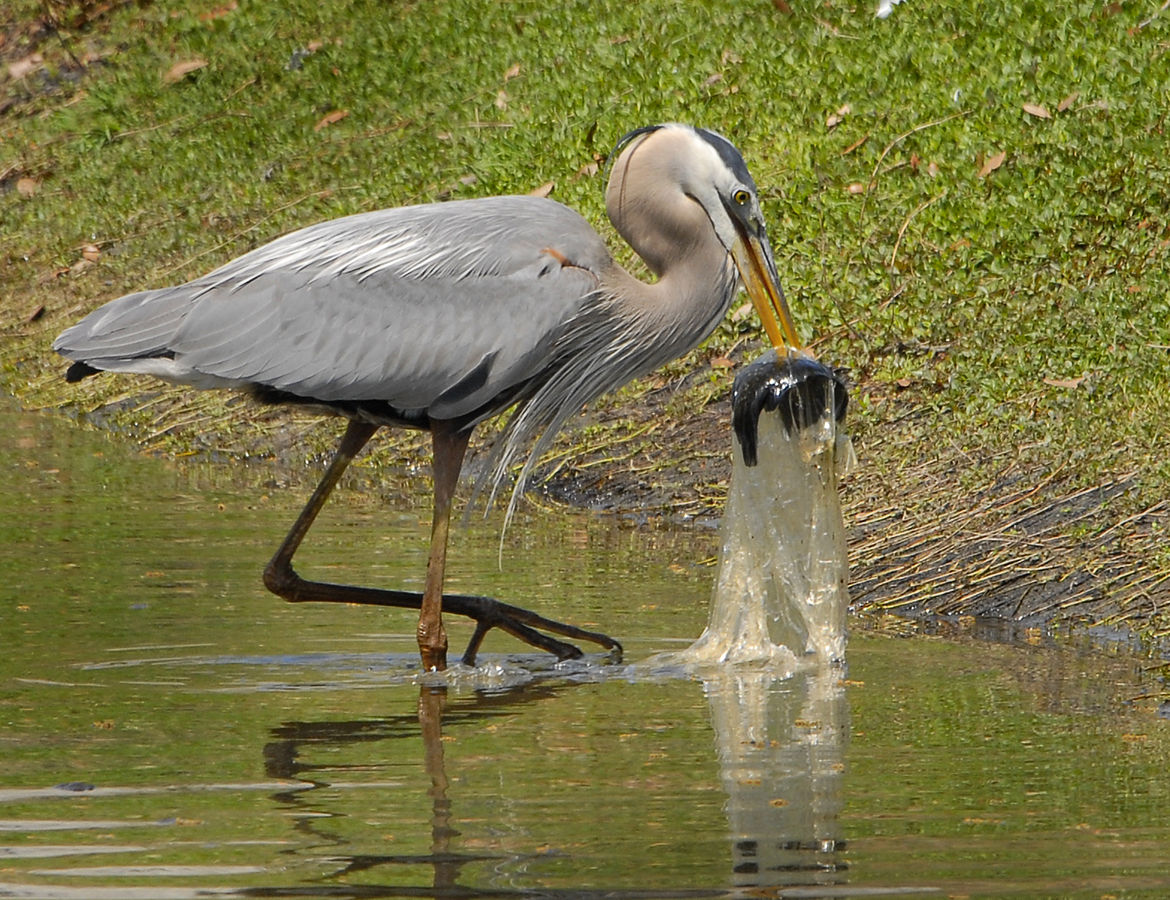 Par Andrea Westmoreland from DeLand, United States — Great Blue Heron Swallows Fish in Plastic Bag!, CC BY-SA 2.0, https://commons.wikimedia.org/w/index.php?curid=26015944
